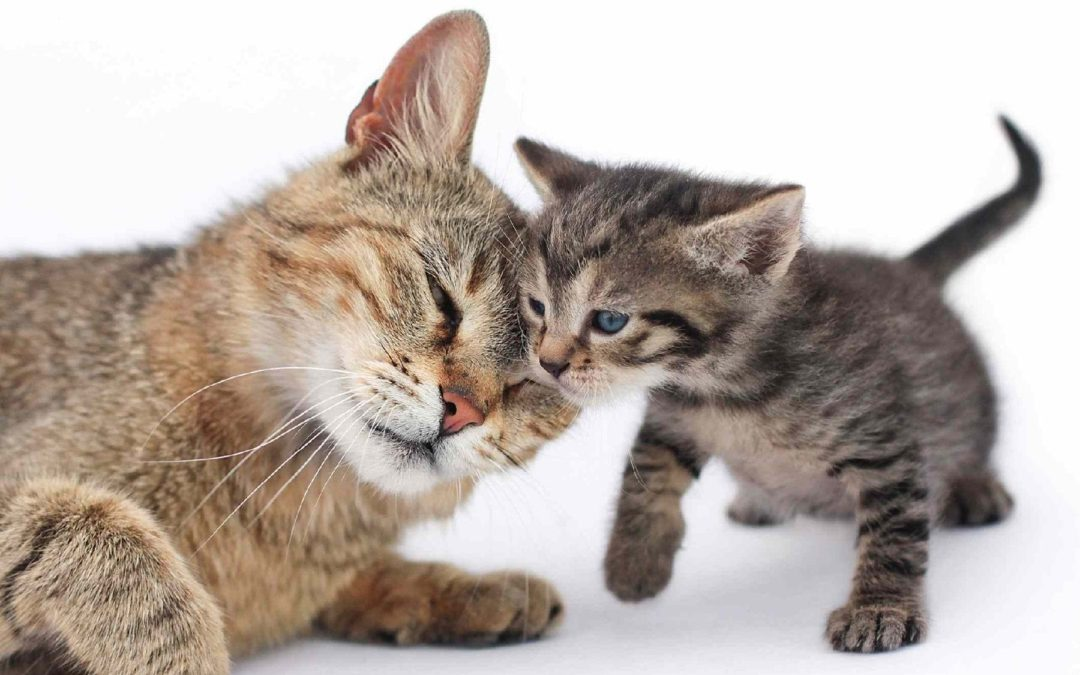 5 Tips for Introducing a New Kitten to an Adult Cat